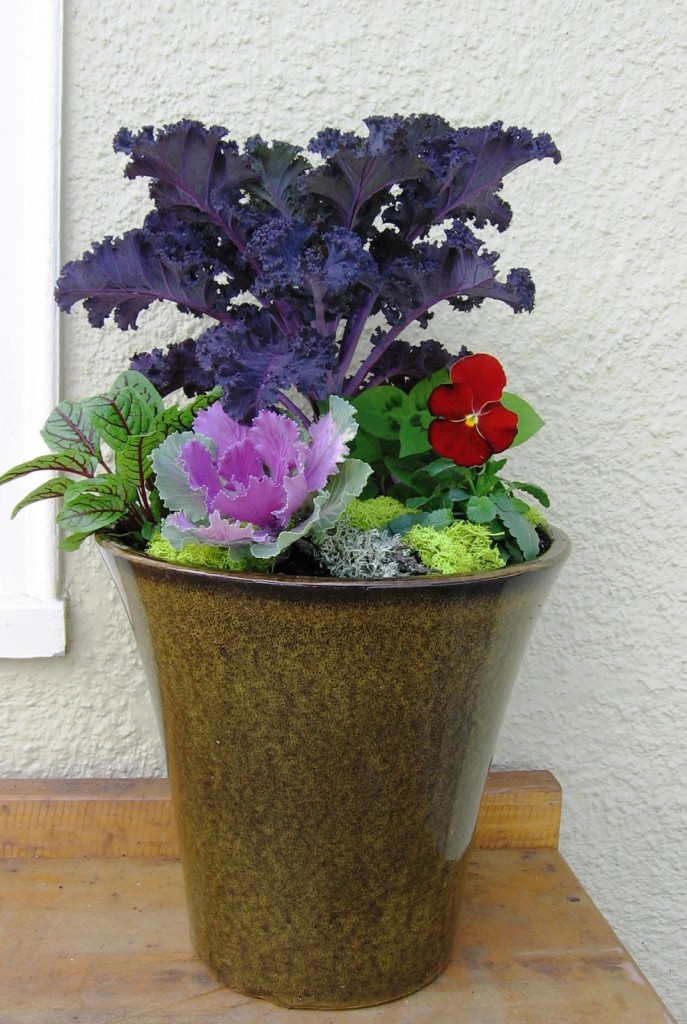 'Redbor' kale with sorrel, pansy and flowering cabbage